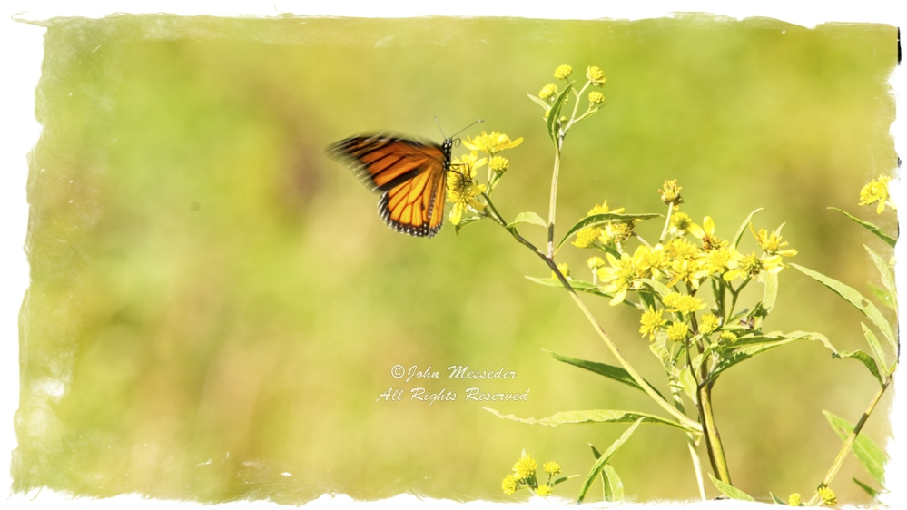Lone Monarch butterfly