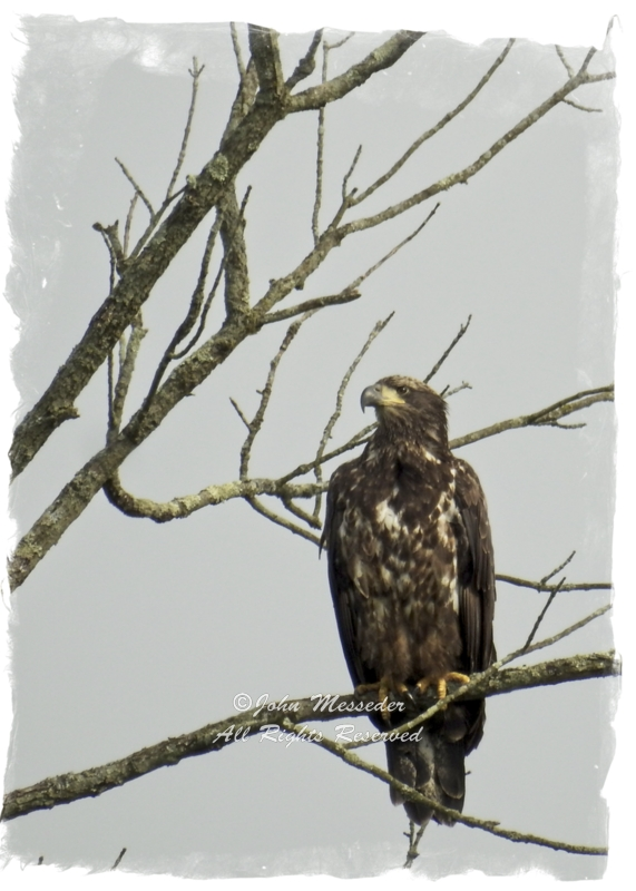 Juvenile Bald eagle over Marsh Creek