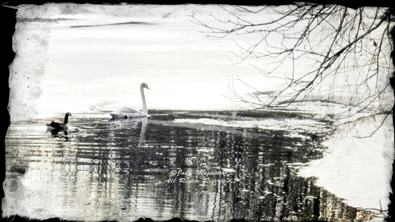 Mute swan and Canada goose on Willoughby Run