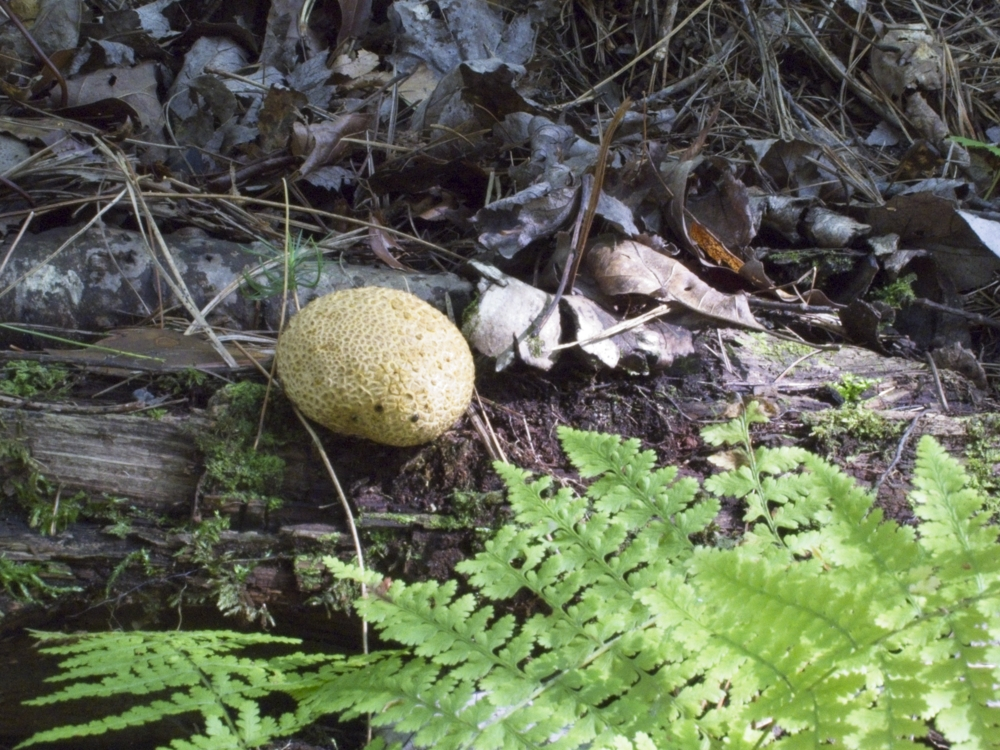Puffball mushroom just past edible growing from a dead log