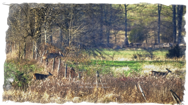 Whitetail near Pumping Station Road