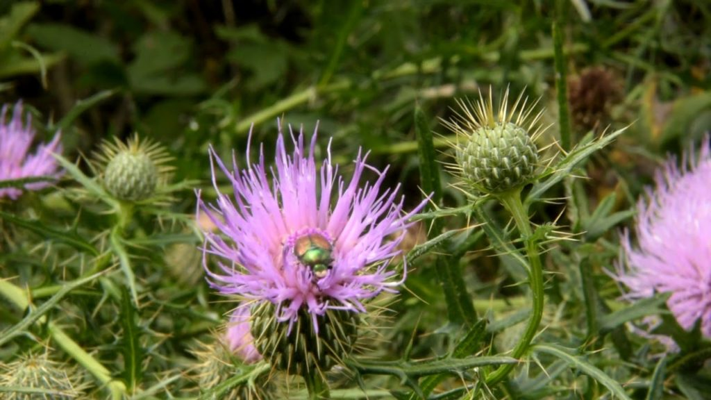 Thistles, turkeys, hummingbird moths among the encounters on a walk in the woods