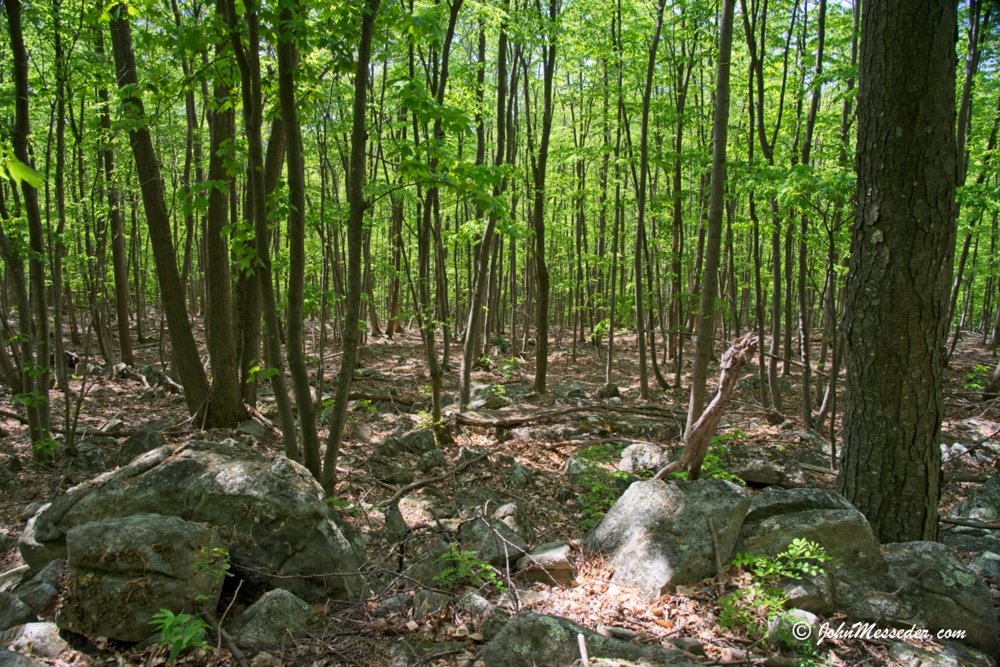 New growth forest in Michaux State Forest
