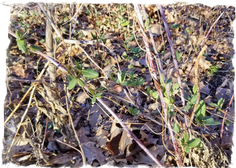 Poison ivy is becoming more potent in warming climate.