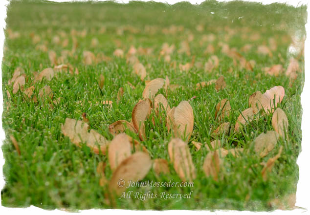 Maple seeds in the grass