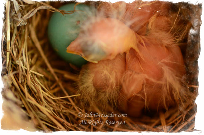 Newborn robin chick in nest