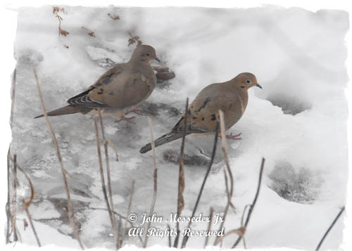 A pair of doves watch the snow melt, a favorite pre-spring Olympic game.