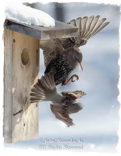Even in too-early spring, the House Sparrows fight off intruders.
