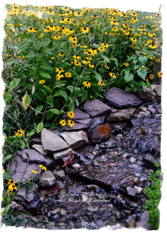 Black-eyed Susans frame a stream the backyard stream.