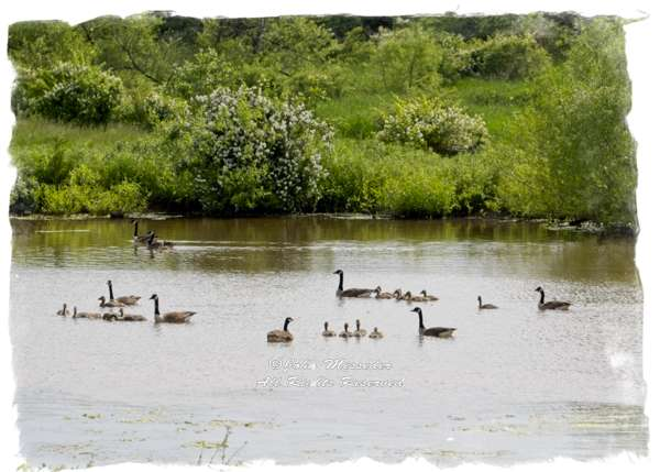 Families of Canada geese gather in a village to raise their offspring.