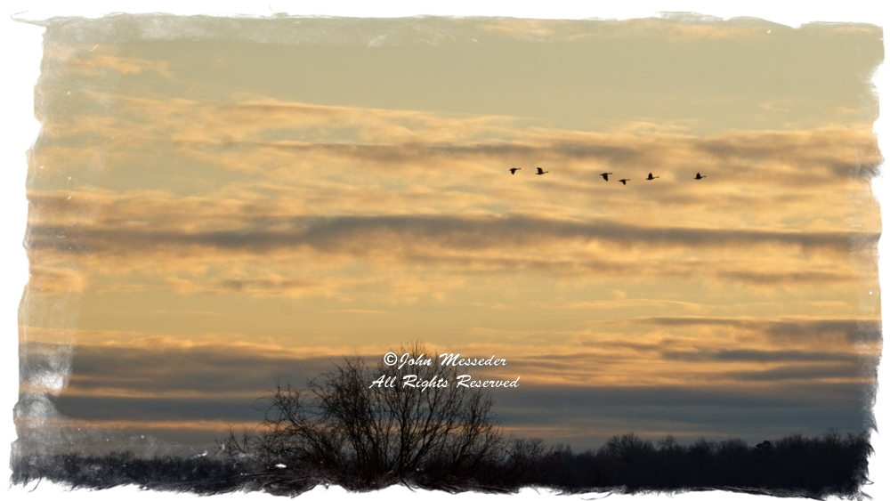 Canada geese northbound on an evening sunset.