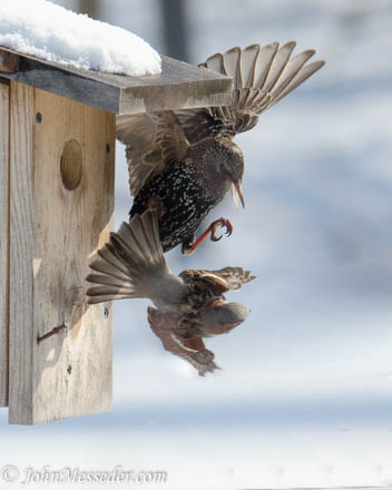 Sparrow attempts to chase away a starling