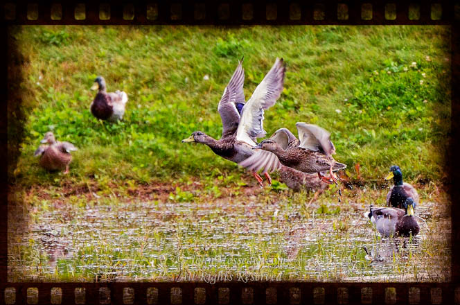Mallards gather for fall migration.