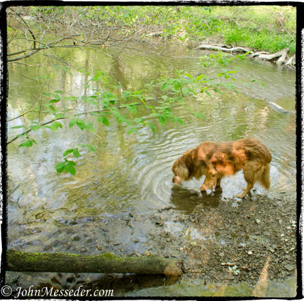 Grady the Golden Retreiver drinks from the creek