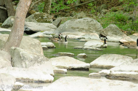 Canada Geese paddle among the rock