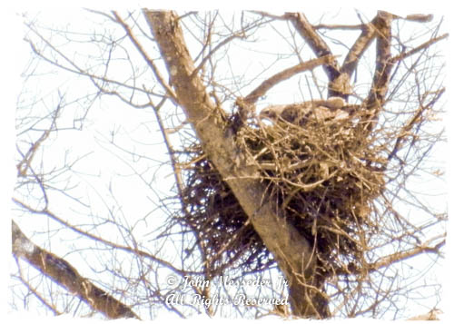 Bald Eagle on the nest.