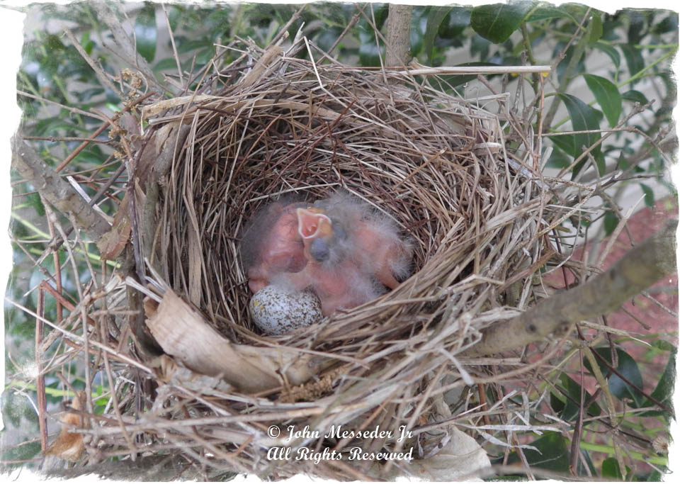 Two-day-old Northern Cardinals await parents'return.