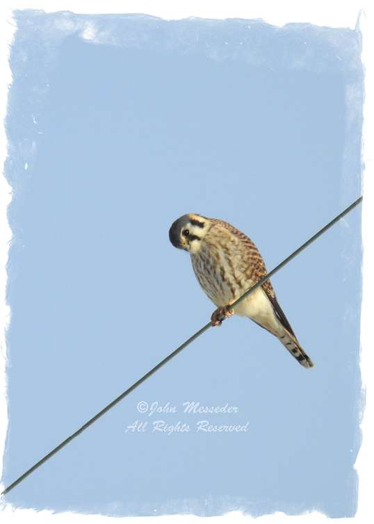 An American Kestrel takes a bow.