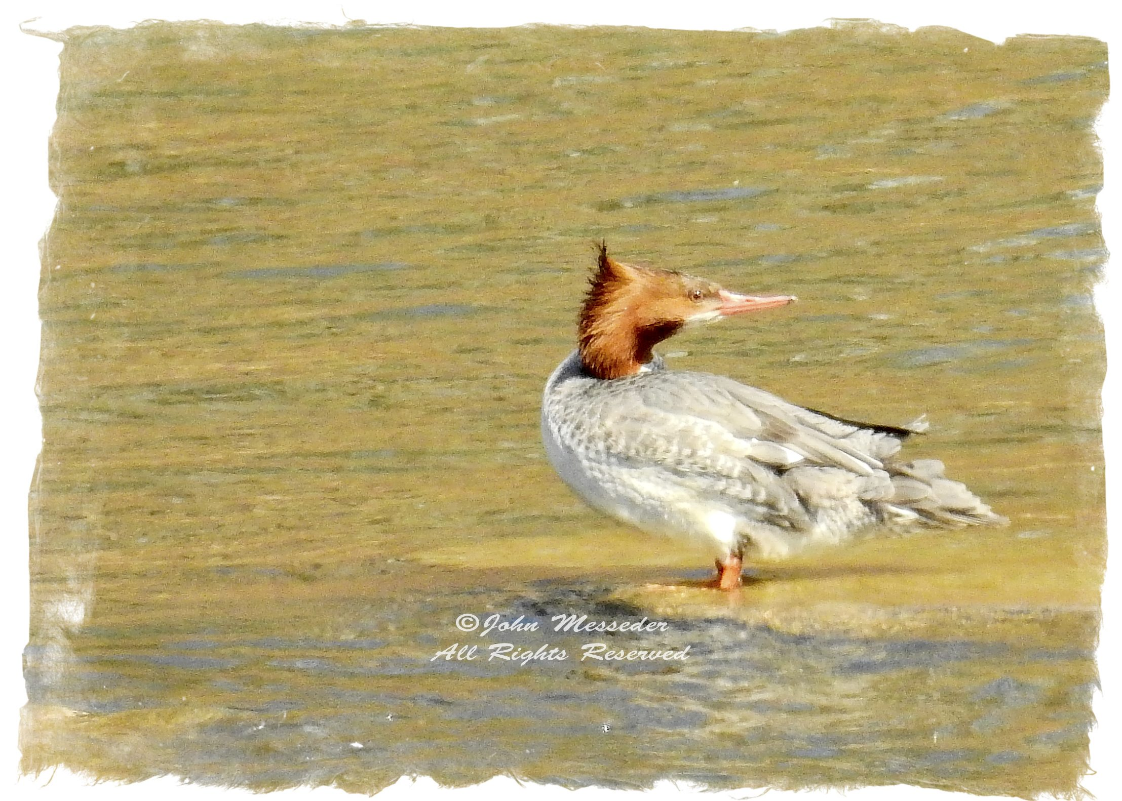 Common merganser wonders ...