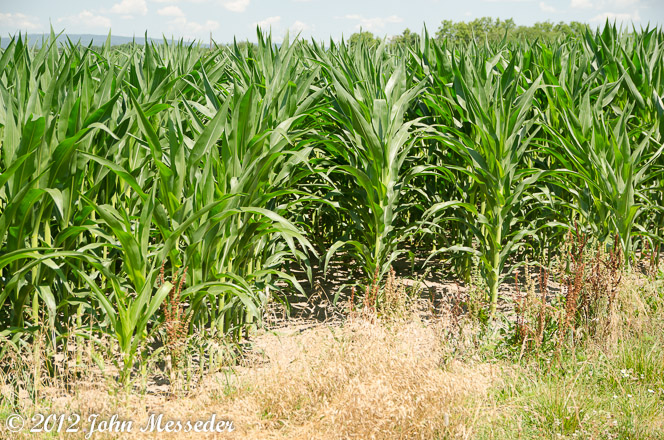 Rows of corn waving in a summer breeze.