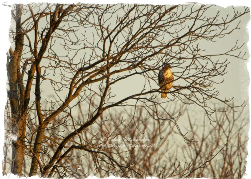 A Red-tailed Hawk sits patiently waiting for dinner to show itself.