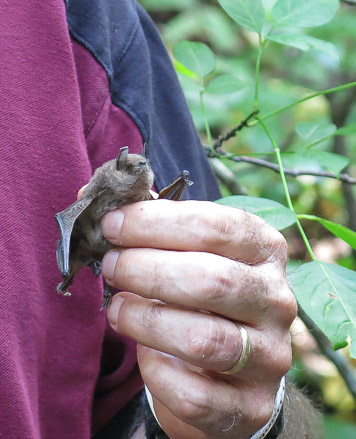 Gray bat believed to have succumbed to White Nose Syndrome