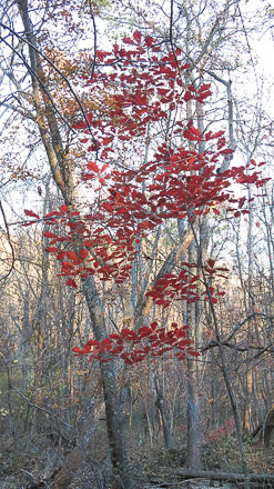 Along among naked residents, a young oak clothes itself in crimson raiment