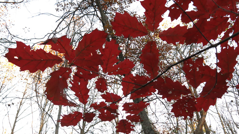 Along among naked residents, an oak clothes itself in crimson finery
