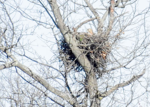 What at long distance looked like a hawk became a Bald Eagle on the nest.