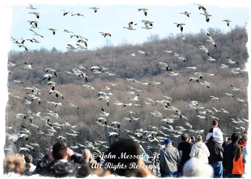 Tens of thousands of Snow Geese pause in PA every year on their way to the nesting grounds.