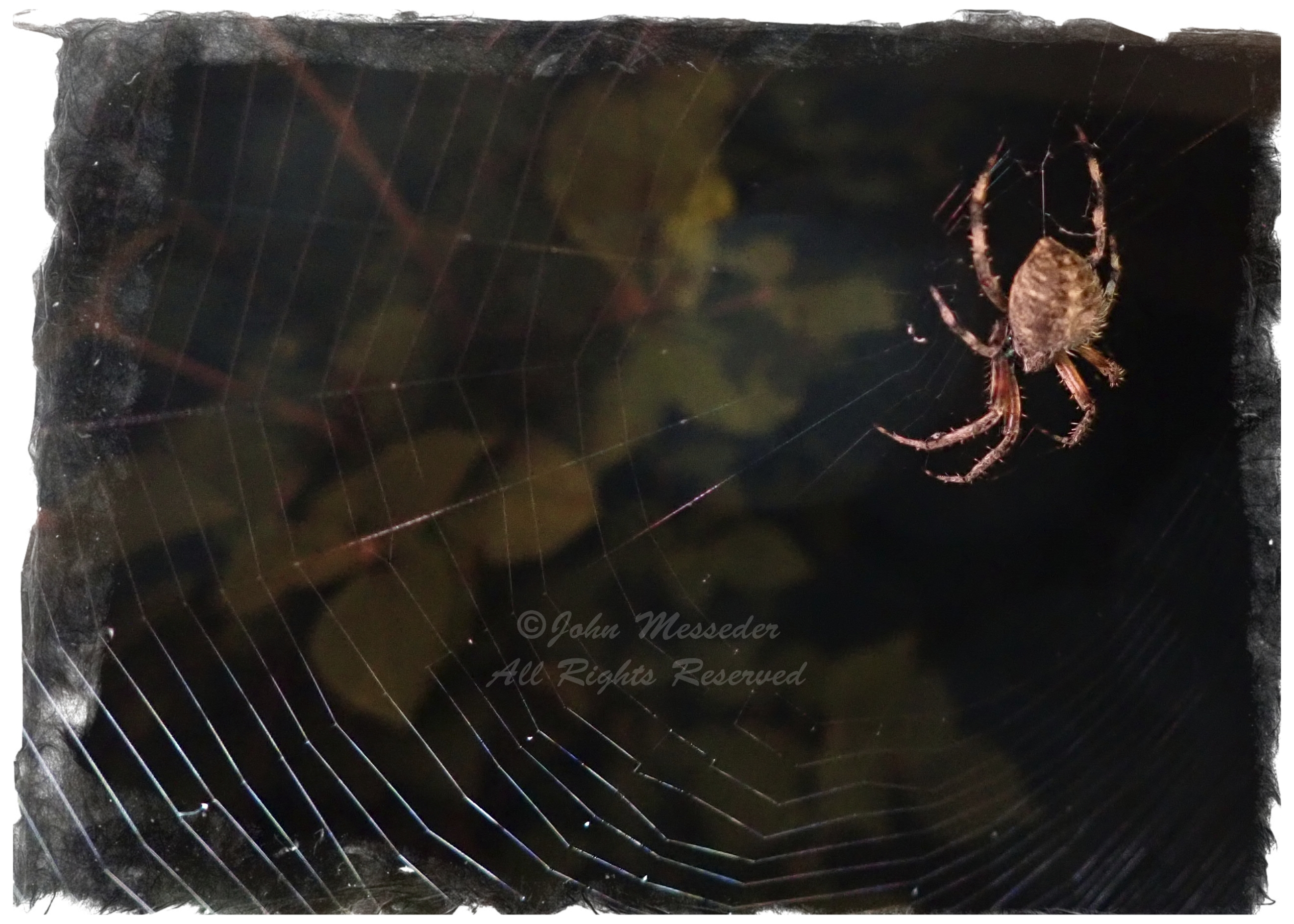 Her eight sensors strategically plugged into the web, Ms. Spider awaits the arrival of dinner.