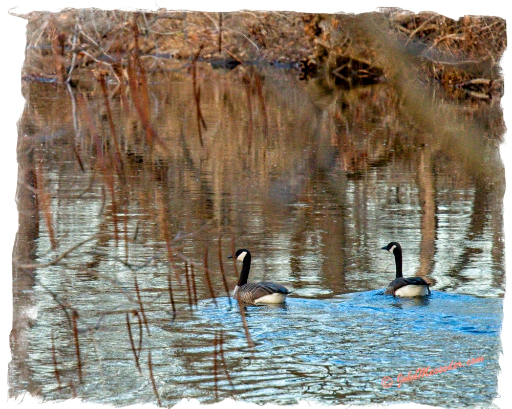 Geese hanging together means spring is coming.