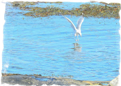 A Herring gull comes in for a landing in a tidal pond.