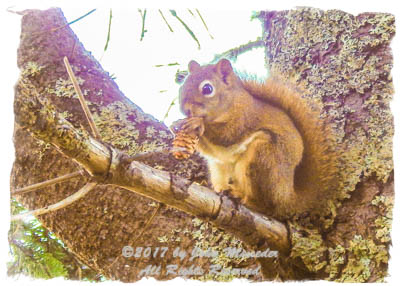 A Red squirrel dines on an abundance of hemlock seeds, leaving piles of scales below.