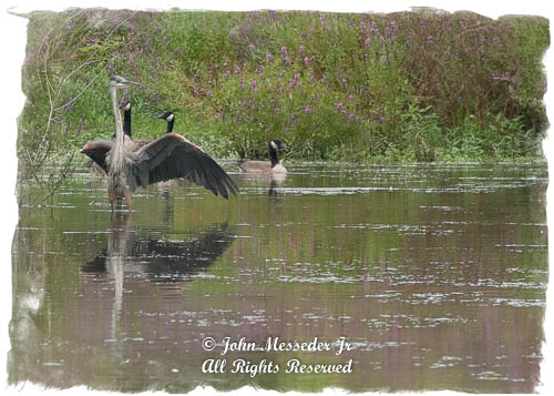 Great Blue Heron and Canada Geese like the river, but parts are becoming risky for life.