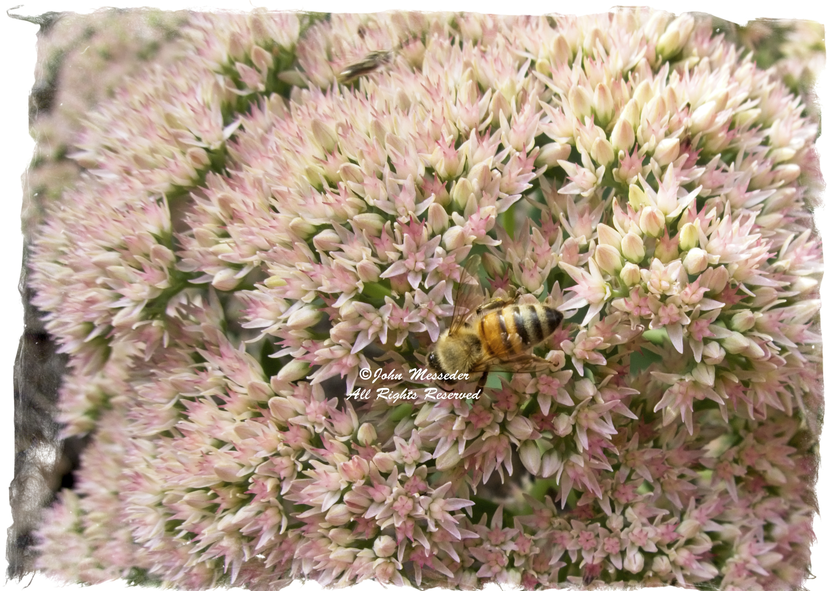 Honey bee pollinates a sedum bloom.