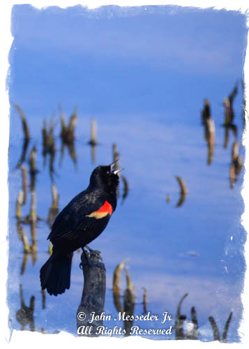 A Red-winged blackbird sings for his lovin' at the edge of a swamp.
